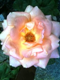 20100515 rose